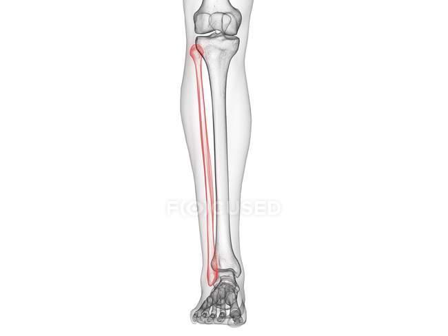 Fibula ósea en el esqueleto del cuerpo humano, ilustración por ordenador . - foto de stock