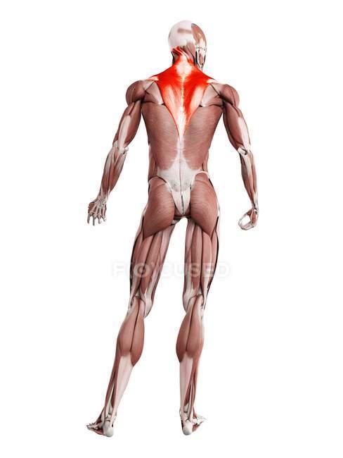 Физическая фигура мужчины с детальной трапециевидной мышцей, цифровая иллюстрация . — стоковое фото