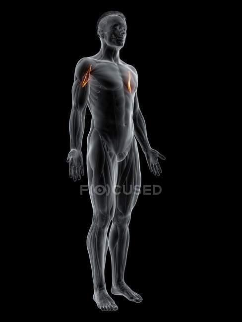 Figura masculina abstracta con músculo Corachobrachialis detallado, ilustración por computadora . - foto de stock