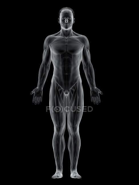 Cuerpo masculino abstracto mostrando músculos frontales, ilustración por computadora . - foto de stock