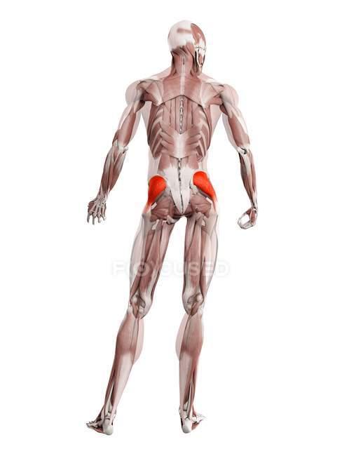 Физическая мужская фигура с детализированной средней мышцей ягодицы, цифровая иллюстрация . — стоковое фото