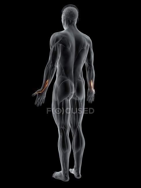 Cuerpo masculino abstracto con músculo largo Extensor pollicis detallado, ilustración por ordenador . - foto de stock