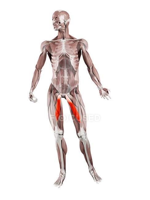 Figura física masculina con músculo Adductor longus detallado, ilustración digital . - foto de stock