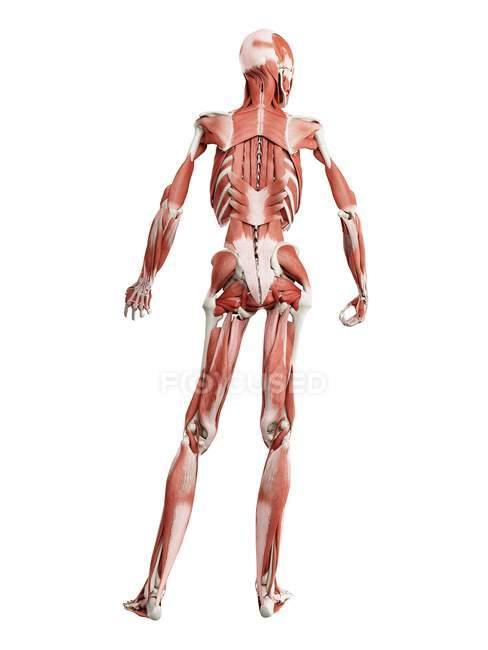 Modelo anatómico humano que muestra músculos profundos de la espalda, ilustración por computadora . - foto de stock