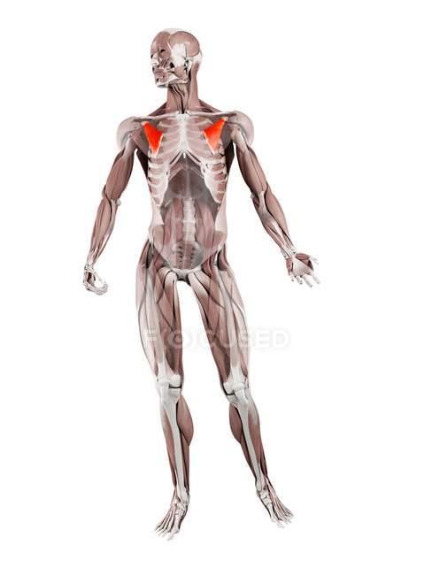 Figura física masculina con músculo menor Pectoralis detallado, ilustración digital . - foto de stock