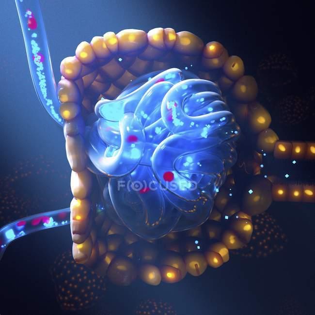 Ilustración computarizada de cápsula Bowman y glomerulus filtró sangre para formar orina.. - foto de stock