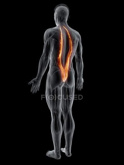 Cuerpo masculino abstracto con músculo Iliocostalis detallado, ilustración por computadora . - foto de stock