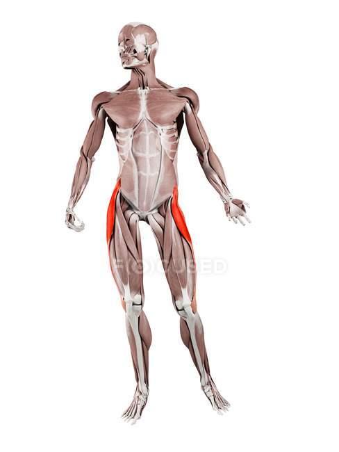 Figura física masculina con músculo Tensor fascia lata detallado, ilustración digital . - foto de stock