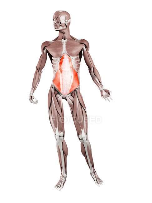Figura fisica maschile con muscoli addominali Transversus dettagliati, illustrazione digitale . — Foto stock