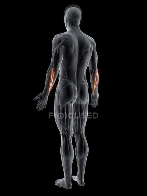 Cuerpo masculino abstracto con músculo Extensor carpi ulnaris detallado, ilustración por ordenador . - foto de stock