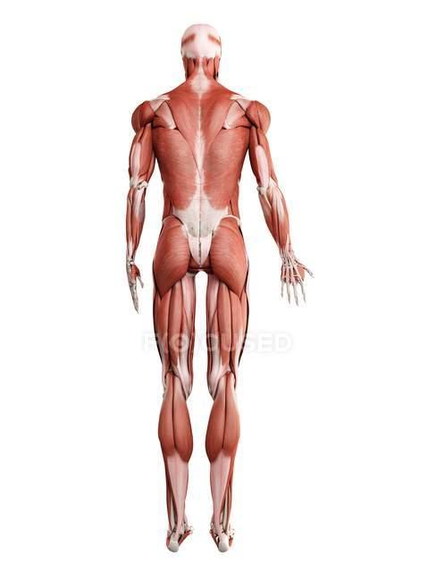 Мужская мускулатура в полный рост, вид сзади, цифровая иллюстрация на белом фоне . — стоковое фото