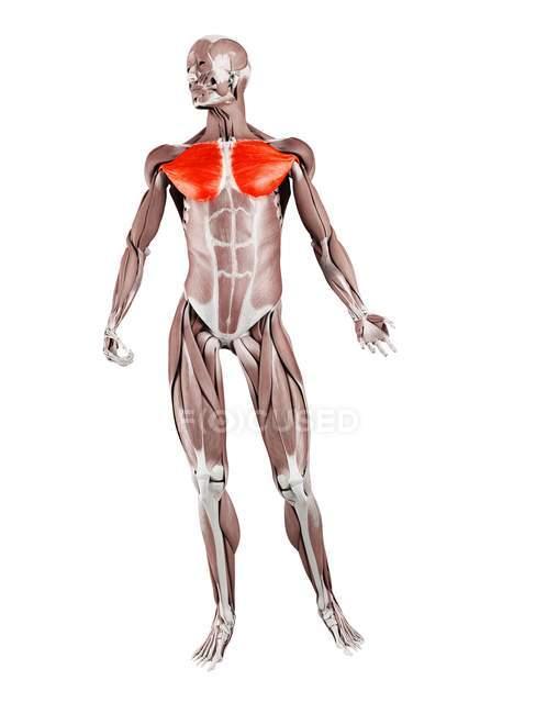 Мужская фигура с подробной Pectoralis major muscle, цифровая иллюстрация. — стоковое фото