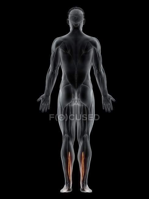 Corpo maschile con visibile muscolo Flexor digitorum longus colorato, illustrazione al computer . — Foto stock