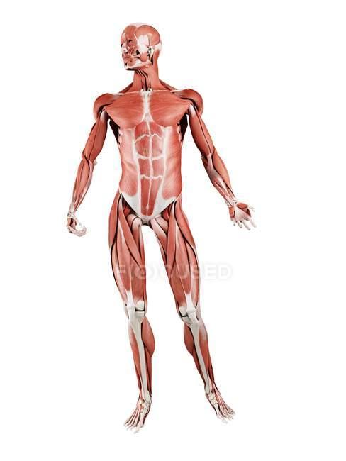 Musculatura masculina em comprimento total, vista frontal, ilustração digital isolada sobre fundo branco . — Fotografia de Stock
