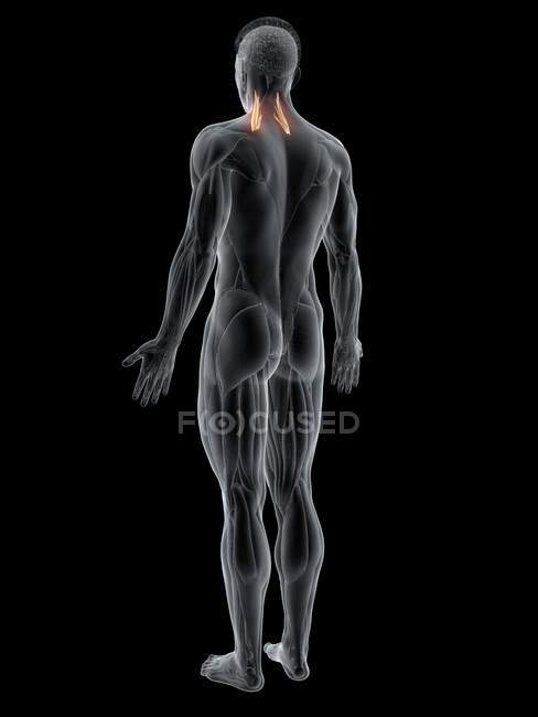 Figura masculina abstracta con músculo medio Scalene detallado, ilustración por computadora . - foto de stock