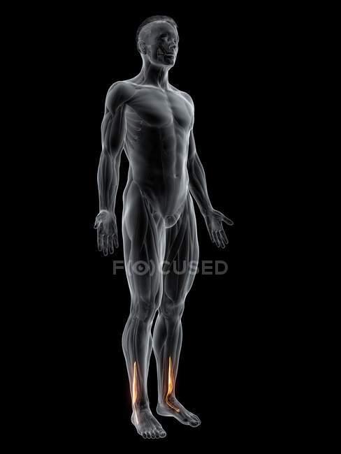 Figure masculine abstraite avec muscle Peroneus brevis détaillé, illustration numérique . — Photo de stock