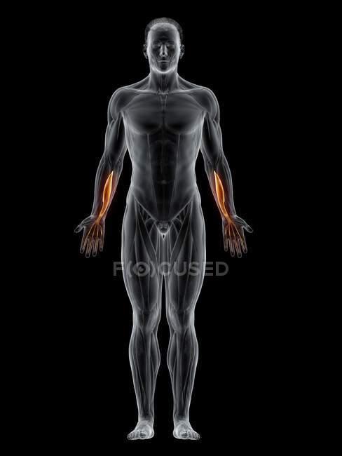 Corpo masculino abstrato com músculo profundo do Flexor digitorum detalhado, ilustração computacional . — Fotografia de Stock