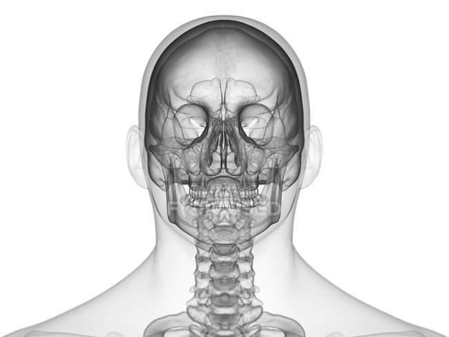 Silueta masculina abstracta con cráneo humano visible, vista frontal, ilustración por computadora . - foto de stock