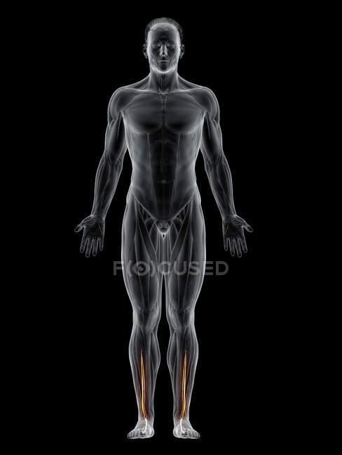 Corpo maschile con visibile colorato Allucinazioni estensore muscolo longo, illustrazione del computer . — Foto stock