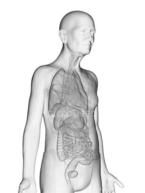 Digitale Illustration des transparenten Körpers eines älteren Mannes mit sichtbaren inneren Organen. — Stockfoto