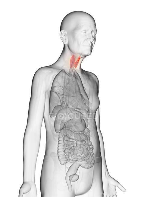 Ilustración digital del cuerpo adulto mayor transparente con tiroides visible de color naranja . - foto de stock