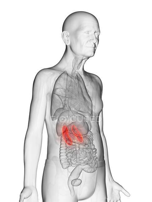 Digitale Illustration des transparenten Körpers eines älteren Mannes mit sichtbaren orangefarbenen Nieren. — Stockfoto