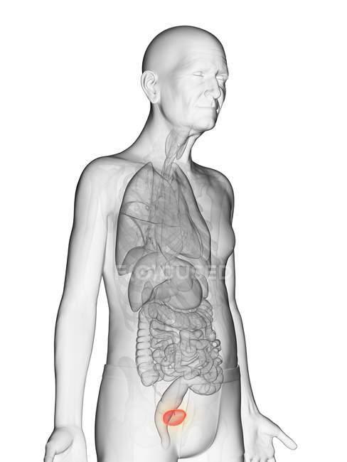 Ilustración digital del cuerpo del anciano transparente con la vejiga visible de color naranja . - foto de stock