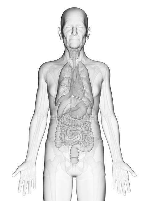 Illustration numérique du corps d'un homme âgé avec des organes internes visibles . — Photo de stock