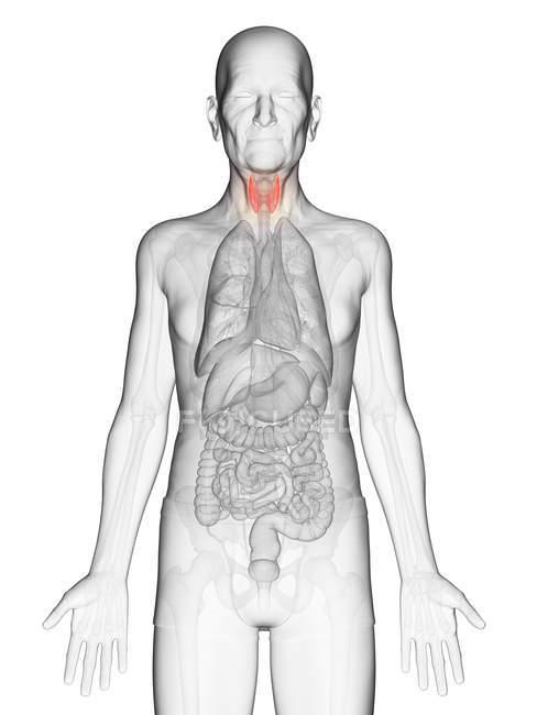 Ilustração digital do corpo do homem idoso transparente com a tireóide visível de cor laranja . — Fotografia de Stock