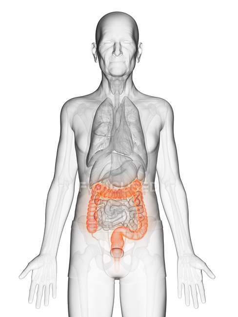 Ilustración digital del cuerpo del anciano transparente con colon visible de color naranja . - foto de stock