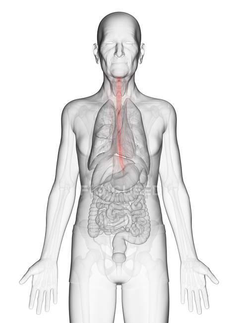 Illustration numérique du corps transparent de l'homme âgé avec oesophage de couleur orange visible . — Photo de stock