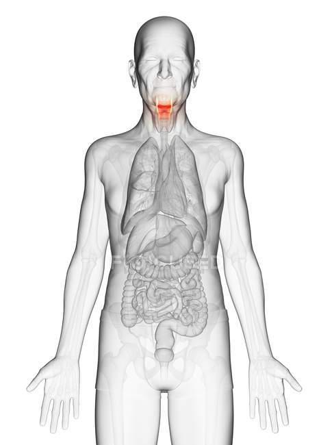 Illustration numérique du corps transparent de l'homme âgé avec larynx de couleur orange visible . — Photo de stock