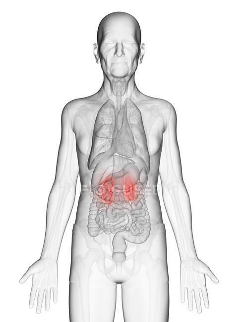 Illustration numérique du corps transparent d'un homme âgé avec des reins de couleur orange visible . — Photo de stock