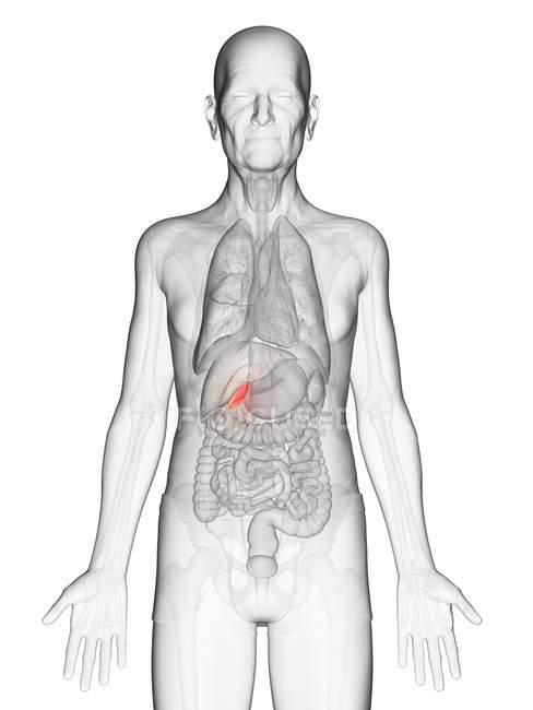 Illustration numérique du corps transparent d'un homme âgé avec vésicule biliaire de couleur orange visible . — Photo de stock