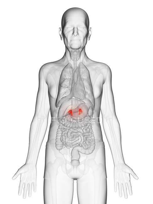 Ilustração digital do corpo do homem idoso transparente com glândulas suprarrenais visíveis de cor laranja . — Fotografia de Stock