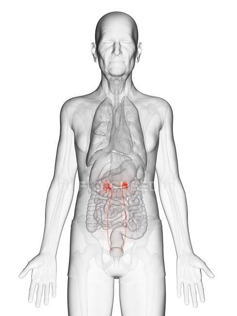Illustration numérique du corps transparent de l'homme âgé avec des uretères visibles de couleur orange . — Photo de stock