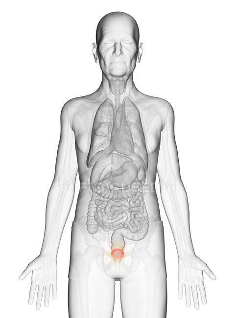 Ilustração digital de corpo de homem idoso transparente com bexiga visível de cor laranja . — Fotografia de Stock