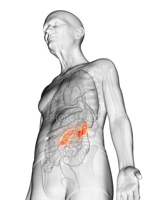 Ilustración digital del cuerpo del anciano transparente con riñón visible de color naranja . - foto de stock