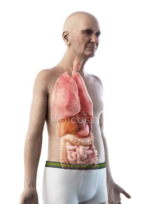 Ilustración digital de la anatomía del hombre mayor que muestra órganos internos . - foto de stock