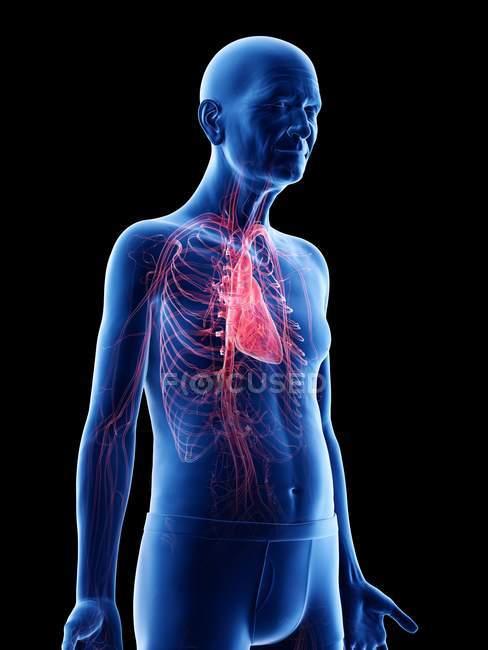 Illustrazione digitale dell'anatomia dell'uomo anziano che mostra il cuore . — Foto stock