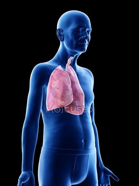 Ilustración digital de la anatomía del hombre mayor que muestra pulmones . - foto de stock