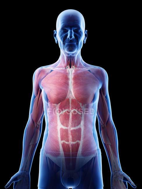 Ilustración digital de la anatomía del hombre mayor que muestra músculos . - foto de stock