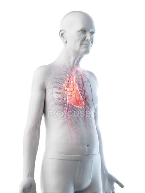 Ilustración digital de la anatomía del hombre mayor que muestra el corazón . - foto de stock