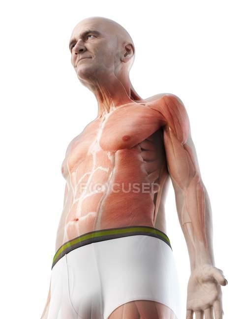 Цифровая иллюстрация анатомии пожилого человека, показывающая мышцы . — стоковое фото
