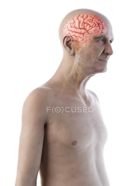 Ilustración digital de la anatomía del hombre mayor mostrando el cerebro y los nervios . - foto de stock