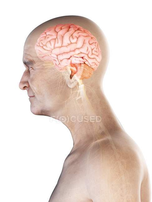 Illustration numérique de l'anatomie des personnes âgées montrant le cerveau et les nerfs . — Photo de stock