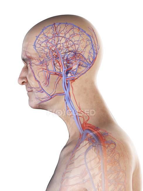 Ilustración anatómica digital de arterias y venas en el cuerpo del hombre mayor . - foto de stock