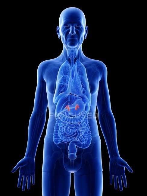 Ilustración digital de glándulas suprarrenales en el cuerpo del hombre mayor . - foto de stock