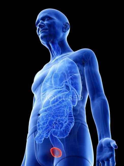 Digital illustration of urinary bladder in senior man body. — Stock Photo