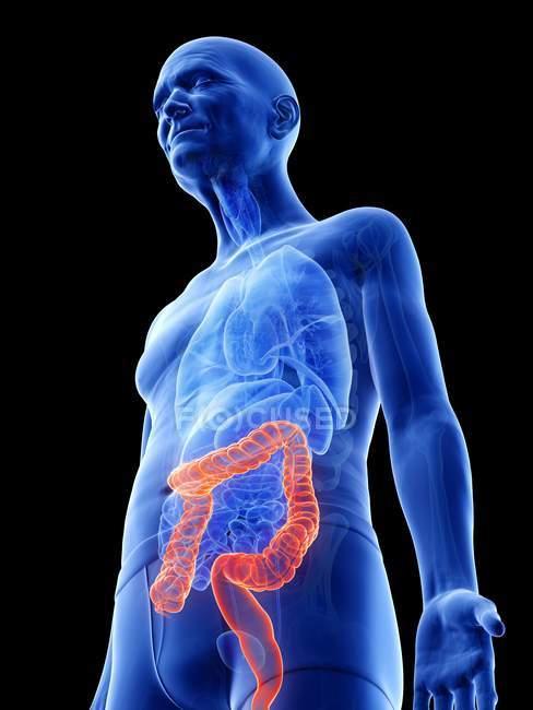Ilustración digital del colon en el cuerpo del hombre mayor . - foto de stock